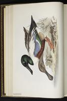 Yellow-browed Warbler plate 360