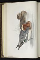 Eurasian Wigeon, canard siffleur, Pato silbón plate 359