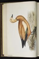 Ruddy Shelduck, canard des Bahamas plate 358