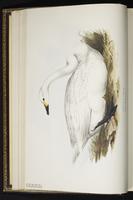 Tundra Swan, Cisne de tundra, cygne siffleur plate 356