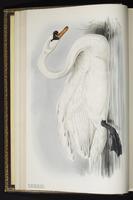 Mute Swan. cygne tuburculé plate 354