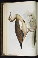 Egyptian Goose plate 353