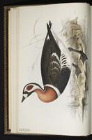 Red-breasted Goose plate 351