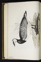 Barnacle Goose, bernache nonnette plate 350