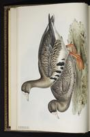 Greater White-fronted Goose, Ganso careto-mayor, oie rieuse plate 349