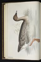 Bean Goose, oie des moissons plate 348