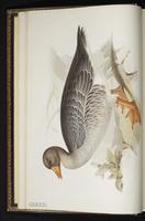 Greylag Goose plate 347