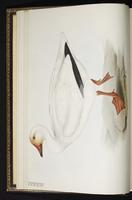 Blue Goose, Snow Goose, Ganso blanco, oie des neiges, plate 346