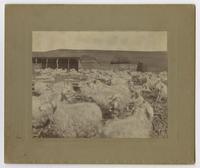 Johnson's Goat Farm
