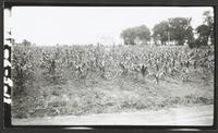 Laptad Stock Farm Corn Field
