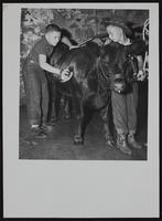 4H Fair - unidentified boys and calf.
