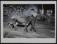 4H Fair - Jersey cow and calf.